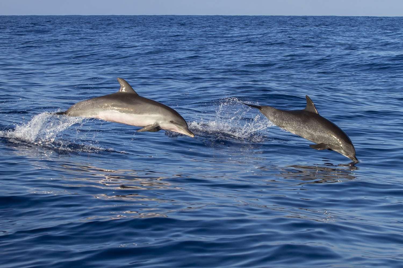 Delfini nel mare di Madeira